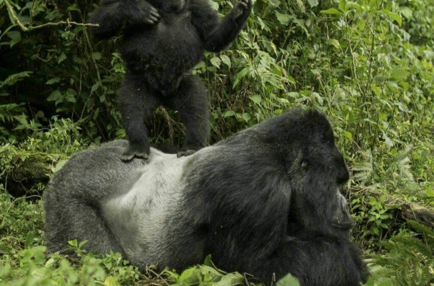 Rwanda Gorilla Journeys 2021